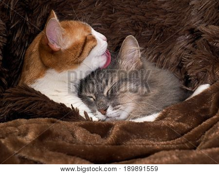 Cat licking cat. Animals under a warm blanket. Cute relationship love and care