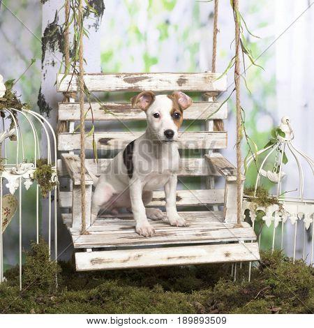 Jack russel terrier sitting, in pastoral decoration