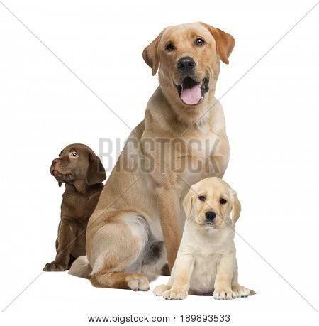 Labrador panting and puppies, isolated on white