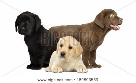 Puppies labrador, isolated on white