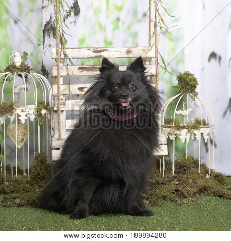 Black german spitz sitting, in pastoral decoration