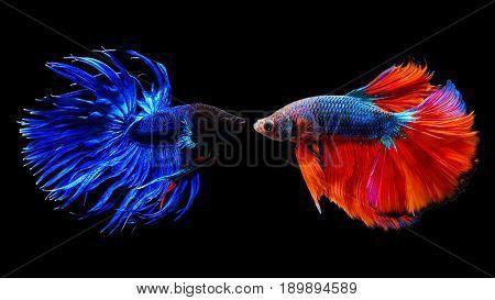 Thai Siamese Betta Fighting Fish
