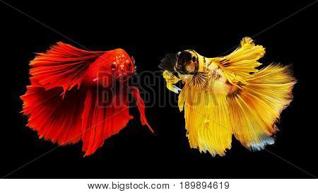 Two Thai Siamese Betta Fighting Fish
