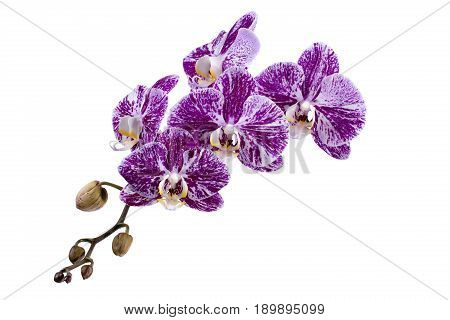 Flower of a phalaenopsis orchid close-up on a white background
