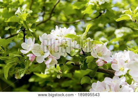 The Apple trees are blooming in the sun. Sun shines through the leaves. Spring flowers blooming. Apple tree in spring. Apple tree in bloom. Apple blossoms