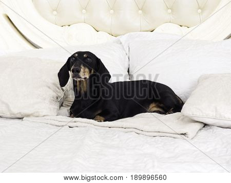 Dachshund dog sitting on white bed. More photos of dachshund dog please see on my profile.