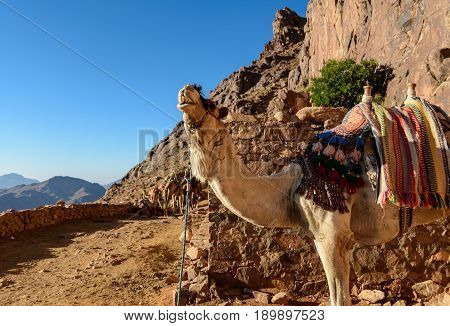 Egypt, Sinai, Mount Moses. Road On Which Pilgrims Climb The Mountain Of Moses And Single Camel On Th