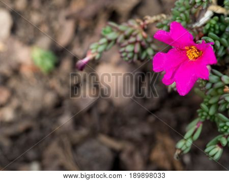 Pink flowers have yellow stamens in the middle. Green leaves small succulent.The backdrop is brown ground.