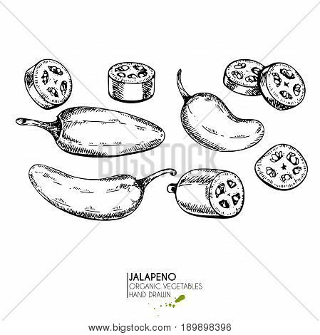 Vector hand drawn set of farm vegetables. Isolated hot chilli jalapeno pepper. Engraved art. Organic sketched vegetarian objects. Use for restaurant menu grocery market store party meal