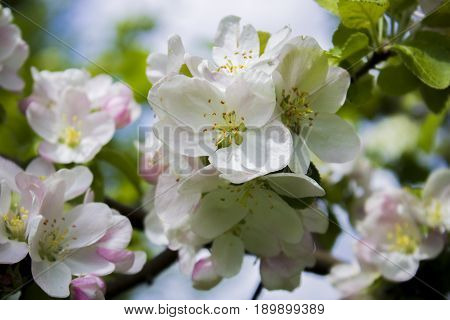 The Apple trees are blooming. Spring flowers blooming. Apple tree in spring. Spring flower background. Apple tree in bloom. Apple blossoms