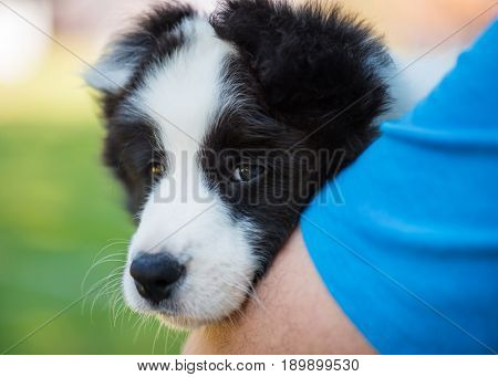 Small puppy on hands of man. Beautiful and very cute little baby dog. Outdoors close-up portrait at summer park.