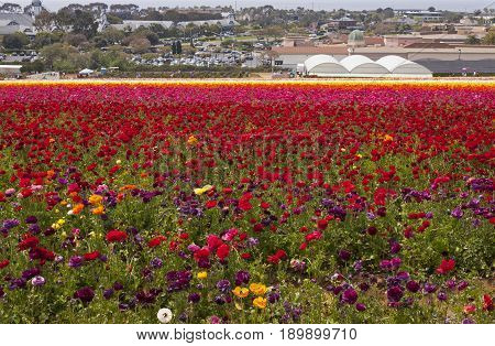Rows of colorful flowers grow on a hillside in Carlsbad ,California,America