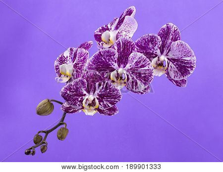 Flower of a phalaenopsis orchid close-up on a violet background
