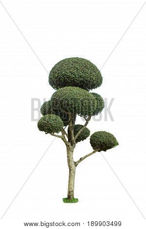 dwarfed tree,isolated on white background with clipping path.