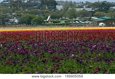 Rows of colorful flowers grow on a hillside in Carlsbad, California,America