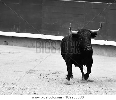 bull spanish in bullring with big antlers