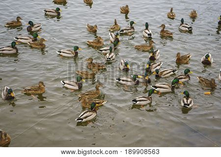 Ducks and drakes floating on a city lake in winter