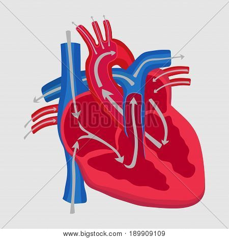 the human heart the study of anatomy the path of blood flow in the heart aorta inlet outlet flat design vector image