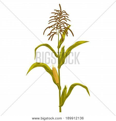 Corn maize realistic hand drawn botanical isolated vector illustration.