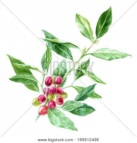 Hand drawn watercolor coffee plant branch on white background