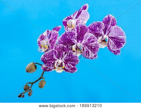 Flower of a phalaenopsis orchid close-up on a turquoise background