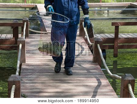 Fish farm worker goes on wooden bridges and carries a hoop-net with carp