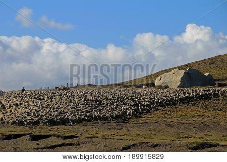 Herd of sheep near Porvenir, Tierra Del Fuego, Patagonia, Chile