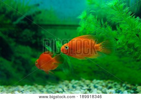 Red Blood Parrot Cichlid In Aquarium Plant Green Background. Goldfish, Funny Orange Colorful Fish -