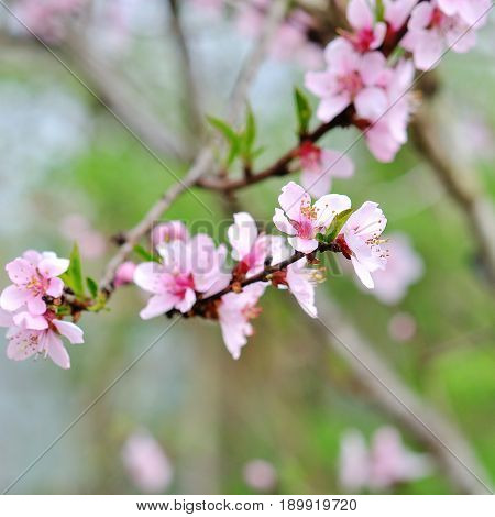 beautiful closeup spring blossoming tree with pink flowers