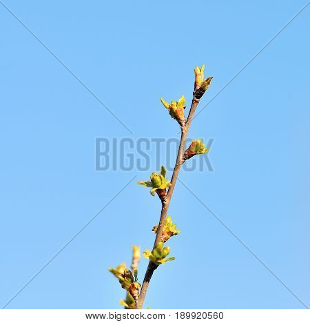 Blossoming branches of a tree. White flowers on a background of the blue sky