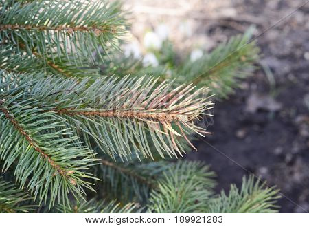 Yellowing of blue spruce may be caused by a variety of noninfectious stresses. Discolored blue spruce needles. Winter injury. Sun scald on evergreen tree.