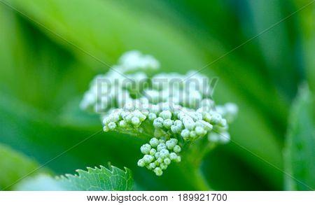 Elderberry Flower In Nature
