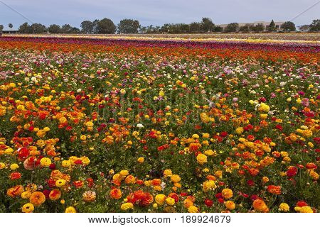 Rows of colorful flowers grow on a hillside in Carlsbad, California, America