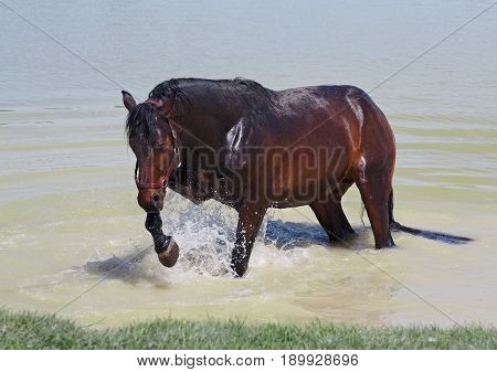 The young horse with pleasure laps in water in hot day