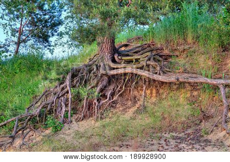 Root tree on the beach. Large tree root on the lake shore.