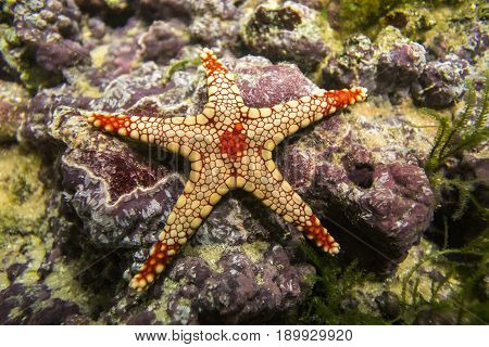 A starfish Fromia monilis (Elegant sea star) on a background of colored stones.