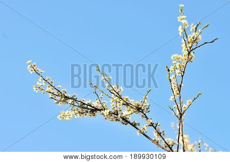 spring white flower tree and blue sky