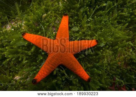 A red starfish Fromia milleperella on a background of green seaweed.