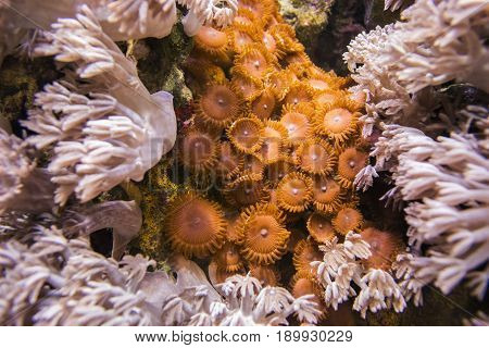 Xenia coral. Waving hand corals, pulse corals, pulsing xenia. And brown Zoantharia