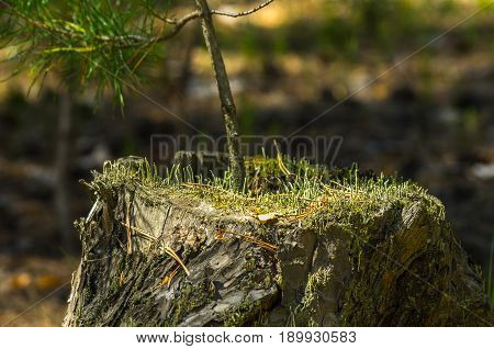 A pine tree sapling on an old stump lit with bright sun in the forest