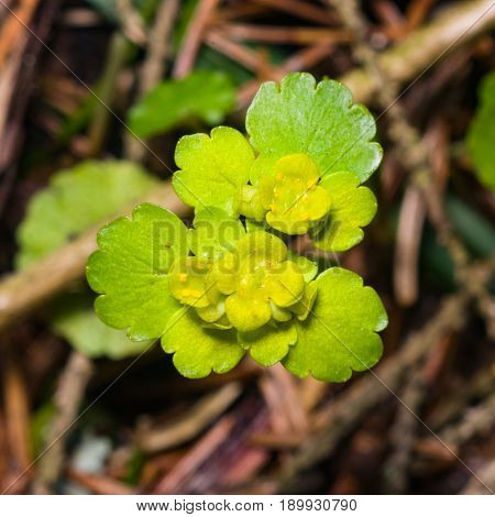Blooming Golden Saxifrage Chrysosplenium alternifolium with soft edges selective focus shallow DOF.