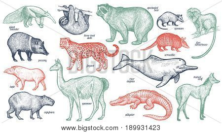 Animals with names set. Bear battleship tamarin wolf dolphin lama jaguar anteater peccary sloth tapir capybara caiman. Vector illustration. Red green black isolated on white background.