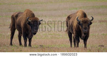 Two of European Bison bulls resting in springtime, Podlasie, Poland, Europe
