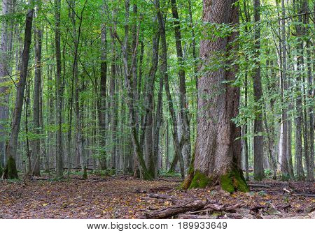 Old linden tree in autumn with younger deciduous stand in background, Bialowieza Forest Poland Europe