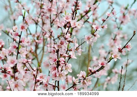 Beautiful blooming cherry tree in spring day