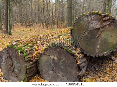 Stack of old declining oak tree logs under dry leaves Bialowieza Forest Poland Europe