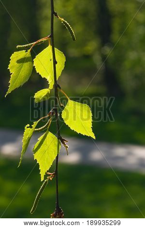 Leaves of Silver birch Betula pendula tree in evening sunlight selective focus shallow DOF.
