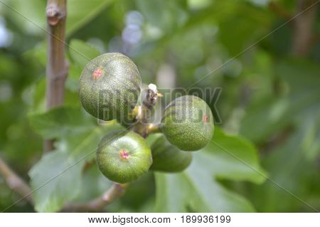 Unripe fig fruits on the branch on blurred background