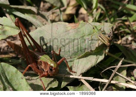 Group Of Grasshoppers