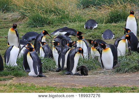 King penguins living wild at Parque Pinguino Rey, Tierra Del Fuego, Patagonia, Chile